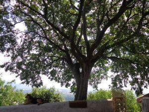 bagolaro tree