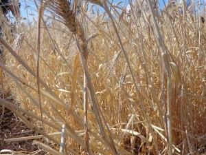 bufala bianca wheat