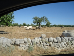 Cow Pasture on Road to Modica