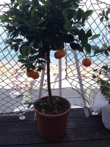 chinotto plant