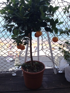 chinotto plant